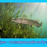 Щука — популярная рыба на Руси